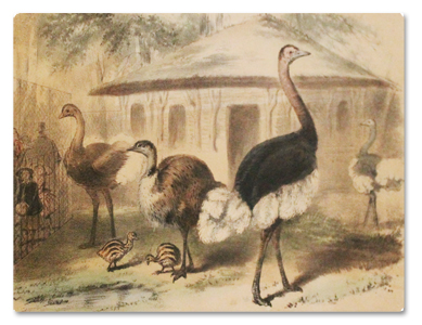 jardin des plantes, menagerie, vallee suisse, estampes, dessins, lithographie, amedee bedelet, paris, illustrations, animaux